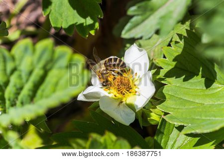 Honey bee collects pollen load or pollen pellet of white flowers strawberry. Strawberries with flower petals and stamens with pollen close up.