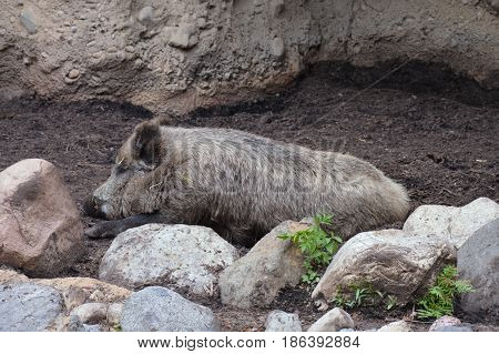 A boar laying down in the dirt