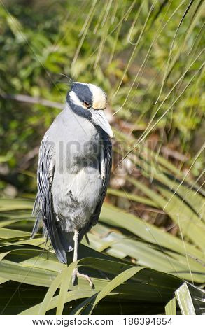 Adult Yellow-crowned Night Heron Nyctanassa violacea on palmetto sticks over wetlands