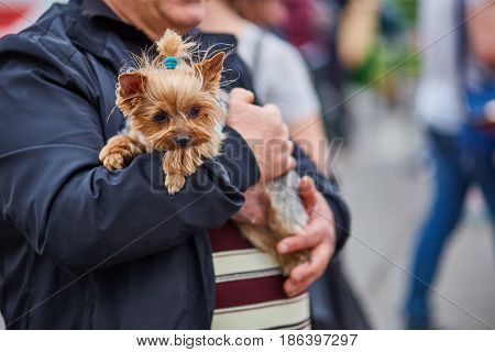 Man Holding Yorkshire Dog On His Hands