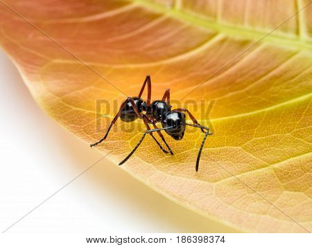 Close-up image of single worker Polyrhachis laevissima ant on red leaf isolate on white background with copy space