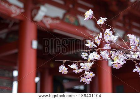Cherry blossom in Senso-ji temple Asakusa Japan