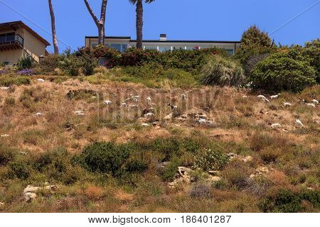 Goats cluster along a hillside with homes and a tower in Laguna Beach as a means of land maintenance and eating away wild brush that could lead to wild fires.