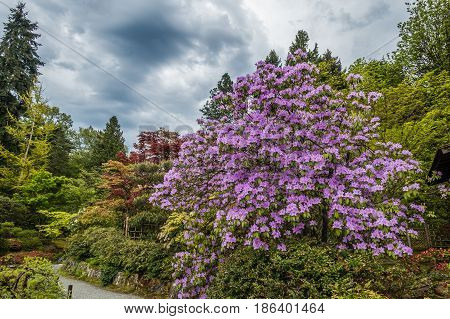 A view of a glorious tree with purple flowers in a Seattle garden.