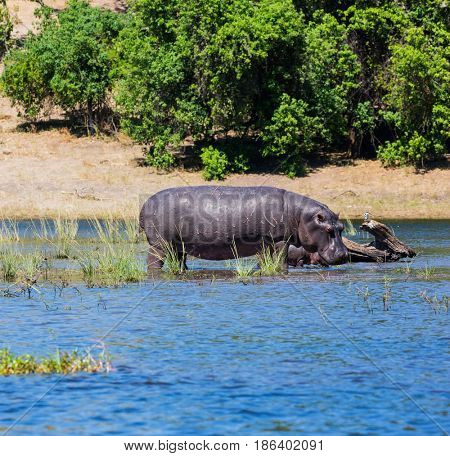 The concept of extreme tourism in Chobe National Park, Okavango Delta, Botswana. Family of hippos in the river