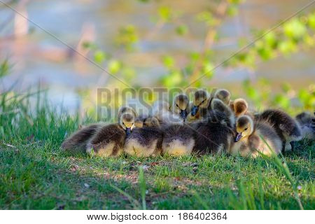 Canada Goose (Branta canadensis) goslings gather tightly together to stay warm while they take a nap on a spring day