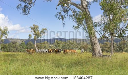 Rural Australian landscape panorama with gum trees and herd of brahman cows for beef cattle