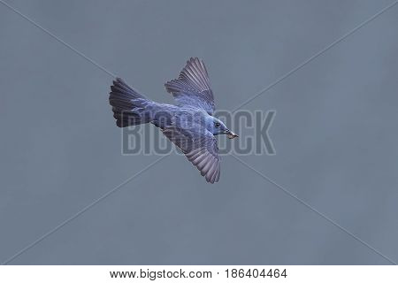 Blue rock thrush (Monticola solitarius) in flight with blue water in the background