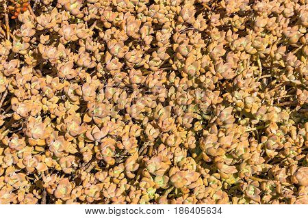 Sunlit cactus leaves texture. Floral natural background
