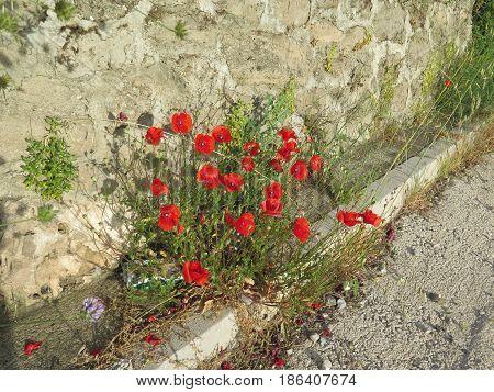Red Poppies On Roadside Verge