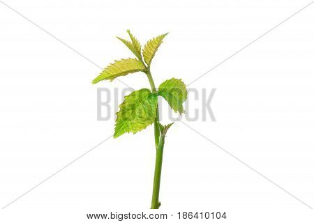 Sprout of a young walnut on the white background