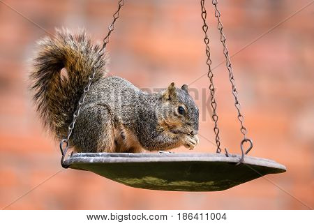 Squirrel (Sciurus niger) eating seeds from bird feeder