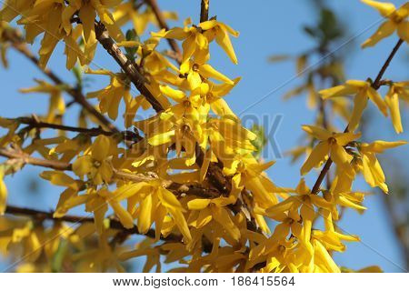 Forsythia branch with yellow flowers against the sky
