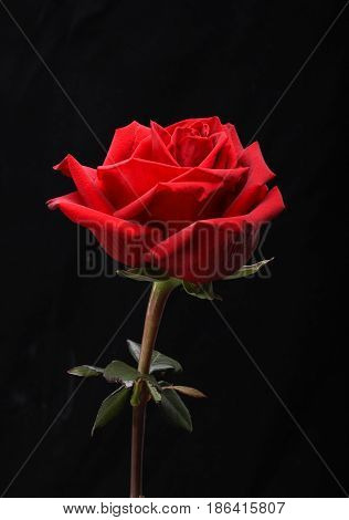 a single red rose flower on black background