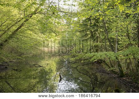 Beautiful early horizontal Danish springtime beech forest with a lake.