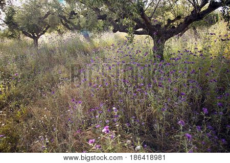 olive trees and purple thistle flowers near stoupa in mani on greek peloponnese under blue sky in spring