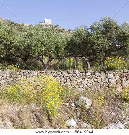 olive trees and yellow flowers near stoupa in mani on greek peloponnese under blue sky in spring with mountain landscape and typical tower house in the background