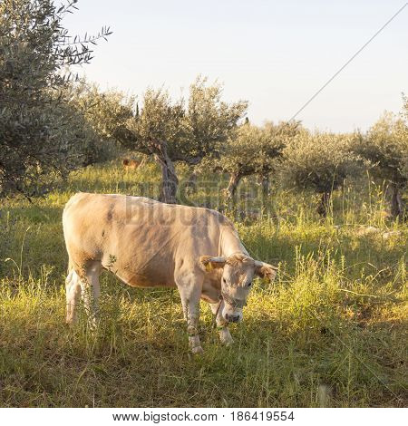 cow between olive trees with blue sea in the background in Mani on greek peloponnese