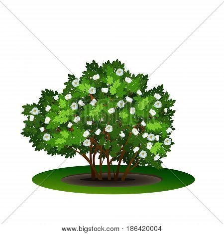 bush dogrose with green leaves and flowers on white background