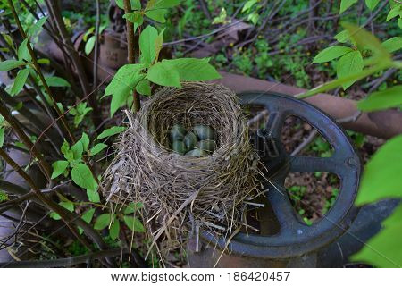 Wild thrush bird nest from dry grass with green and blue eggs with speckles on steel water valve.
