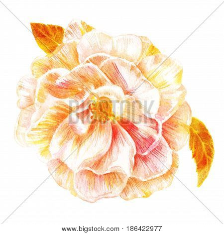 A vintage style watercolor drawing of a tender camellia with green leaves, hand painted on white background, golden toned