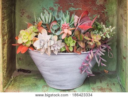 Colorful variety of Asclepiadaceae in the pot, Close up image