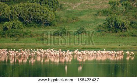 Long shot of large group of flamingos at Lake