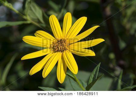 Helianthus Tuberosus Flower, Aka Jurusalem Arichoke