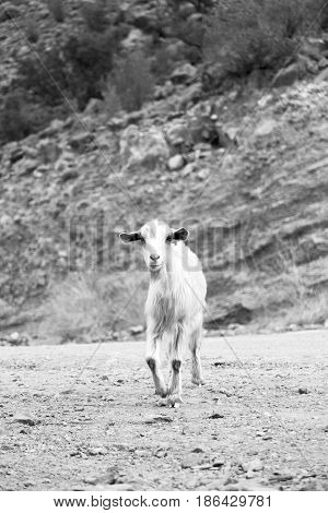 In Oman Goat Alone Near The Rock And Bush