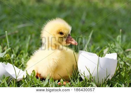 Cute little domestic gosling with broken egg in green grass.