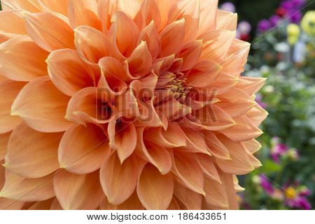 Peach Coloured Christie Leader Dahlia In The Garden