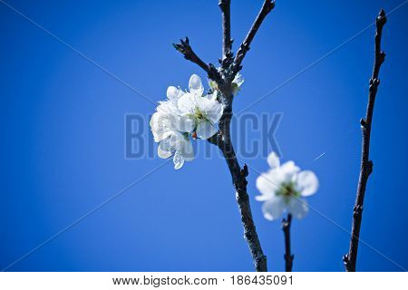 Closeup of white Wild Himalayan Cherry (Prunus cerasoides) with a blue sky background.