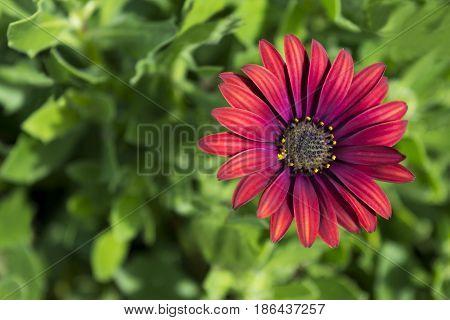 Single Osteospermum 'elite Ruby' Flowerhead