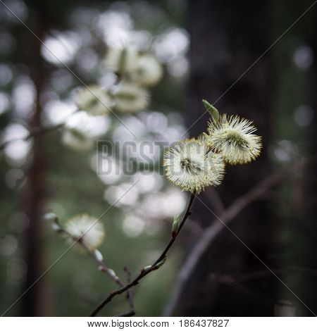 Blooming Pussy Willow (Salix) in the woods