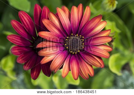 Two Osteospermum 'elite Ruby' Flowers - Closer View