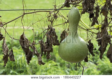 Single Growing Lagenaria Siceraria Bottle Gourd