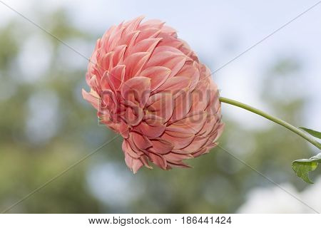 Sylvia Craig Hunter Dahlias - Side View With Sky Background