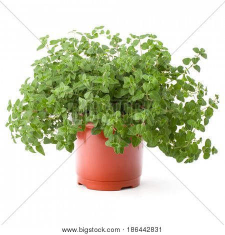 Oregano or marjoram herb growing in flowerpot  isolated on white background cutout