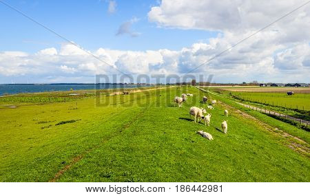 Panoramic view of an embankment with grazing next to a Dutch estuary and a small country road. It is springtime in the Netherlands.