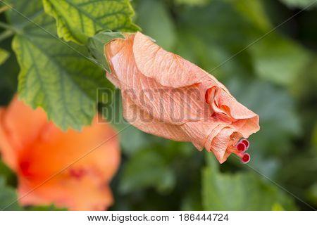 Closed Hibiscus Rosa-sinensis 'ritzy'