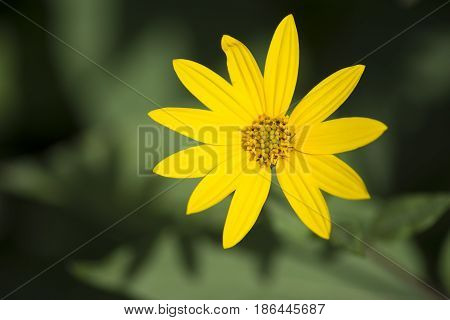 Helianthus Tuberosus Flower Head, Aka Jurusalem Arichoke