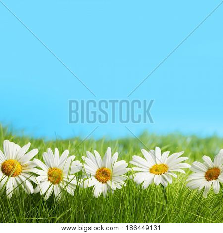 Row of chamomiles in spring grass under blue sky
