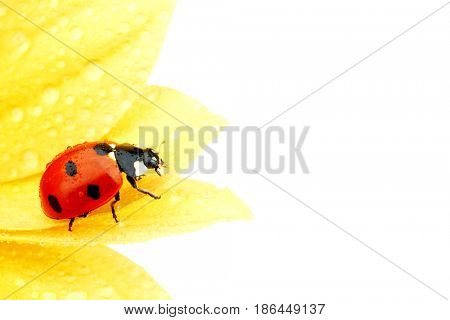 ladybug on yellow flower isolated white background