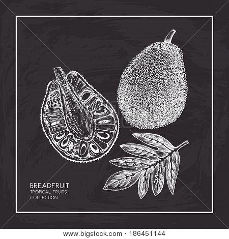 Engraved botanical sketch. Vintage jack fruit design. Tropical plant frame. Wedding template