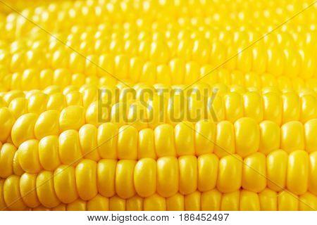 Ripe golden sweet corn on the cob close-up