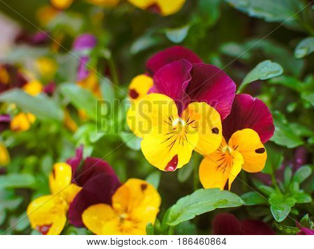 Beautiful pansy flower in the garden, Selective focus
