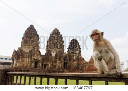 Portrait of young rhesus macaque monkey ( Crab-eating or Long-tailed macaque ) sitting in front of ancient pagoda architecture Wat Phra Prang Sam Yot temple Lopburi Thailand.