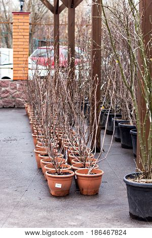 Saplings Of Trees In A Store.