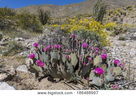 Cacti And Wildlfowers Blooming In Anza-borrego State Park, California