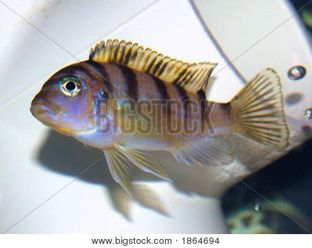 Female Kenyi Cichlid (Baby)